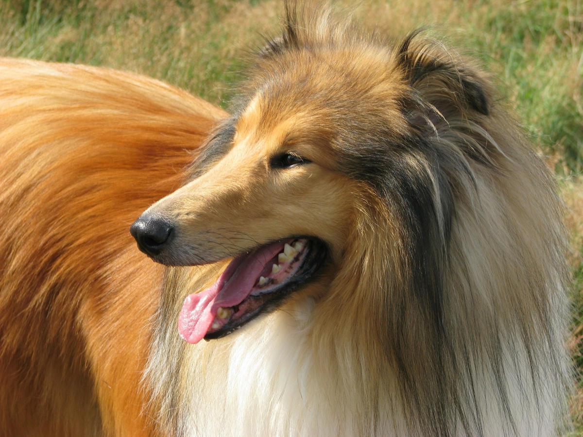 Hund Filmstart Lassie